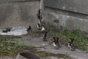 Modlin Twierdza: Druhowie uratowali małe kaczuszki