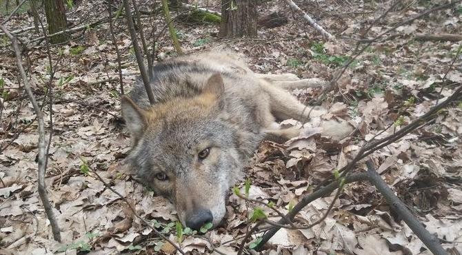 Wilk po wypadku wrócił do Puszczy Kampinoskiej